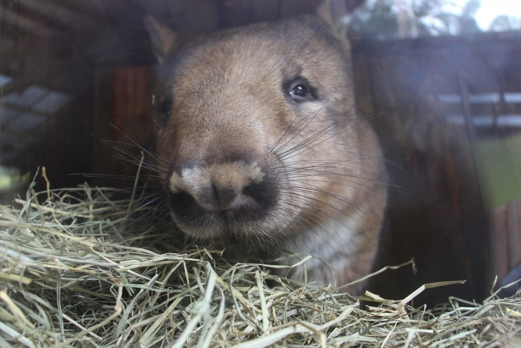 Rainforestation Wombat Juliet