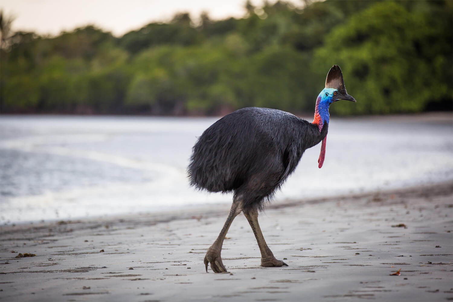 Cassowary in the Daintree